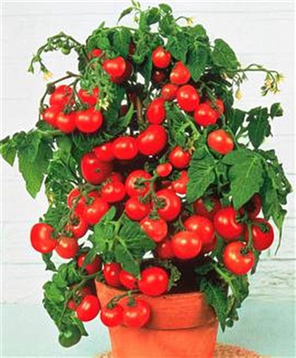 Tomatoes for container gardening texas heirloom tomatoes - Best tomato plants for container gardening ...