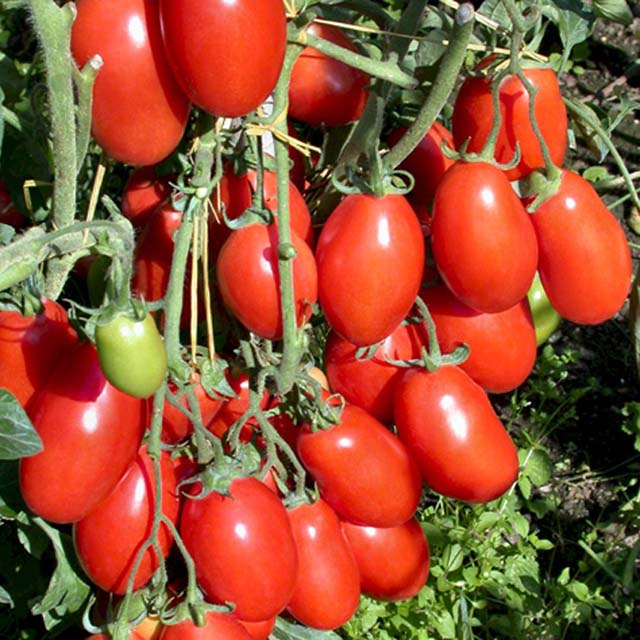 tomatoes for container gardening texas heirloom tomatoes. Black Bedroom Furniture Sets. Home Design Ideas